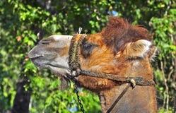 Kamelreiten lizenzfreie stockfotografie