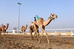 Kamelrennen in Katar Stockfotografie