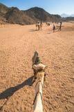 Kamelritt på öknen nära Hurghada Royaltyfri Foto
