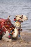 Kamel på stranden Arkivbilder