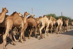 Kamelsäugetiergruppe Lizenzfreies Stockfoto