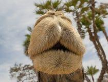 Kamels nos Arkivfoto