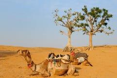kamelsafari Royaltyfria Foton