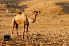 kamelsafari Arkivfoton
