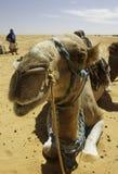 kamelsitting Arkivbild
