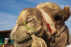 kamelstående Arkivfoto