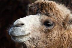 kamelstående Arkivbilder
