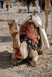 kamelstående Royaltyfri Bild