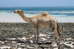 Kamelstand auf dem Strand lizenzfreie stockfotos