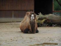 Kamelstillstehen lizenzfreies stockfoto