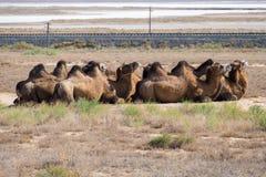 Kamelwohnwagen in der Wüstenlandschaft Stockfotos