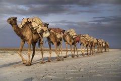 Kamelwohnwagen am See Karoum stockfotos