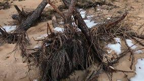 Kamera bewegt und entfernt den Rückstand eines alten und verfallenen Baums im Vorfrühling während der Tageszeit stock video