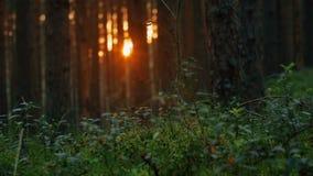 Kamera, die über hellen schaffenden schönen Blendenfleck des Sommerkiefernwaldsonnenuntergangs sich bewegt stock footage