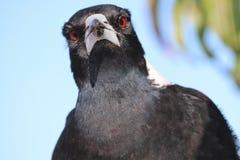Kamera för Closeup för australisk skata belägen mitt emot royaltyfri fotografi