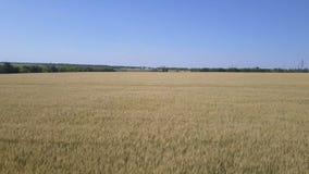Kamera fliegt über das Weizenfeld stock footage