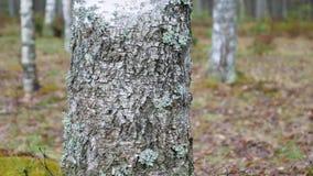 Kamera ono ślizga się przed brzozą w lesie w wiosna czasie zdjęcie wideo