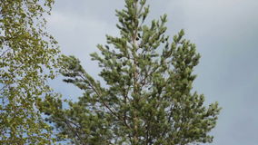 Kamera Pan Down Pine Tree stock video