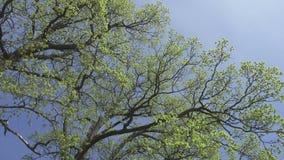 Kamera ruchy usuwa spod spodu gaju dęby z młodą wiosną zielenieją ulistnienie przeciw tłu niebieskie niebo zbiory wideo
