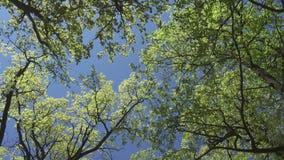 Kamera ruchy usuwa spod spodu gaju dęby z młodą wiosną zielenieją ulistnienie przeciw tłu niebieskie niebo zdjęcie wideo