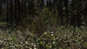 Kamera rusza się naprzód nad gęstą trawą w sosnowym lesie 4K zbiory