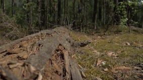 Kamera rusza się wzdłuż logującego się który czołgać się mrówki 4K zbiory