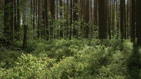Kamera rusza si? naprz?d nad g?st? traw? w sosnowym lesie 4K zbiory wideo
