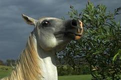 Kamera-schüchternes Pferd Stockfoto