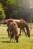 kamera szukać koni Obrazy Royalty Free