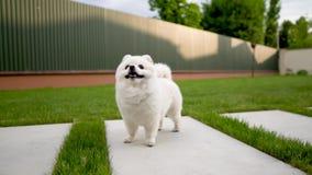 Kamera znajduje ślicznego małego białego pomeranian psa Stać na trawie zbiory