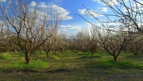 Kameraflyg över träd för körsbärsröd blomning Fruktträdgård i vårlandskap Bransch och jordbruk stock video