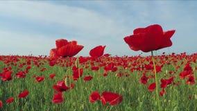 Kameraflyttningarna till och med fältet av vallmo blommar långsam rörelse stock video