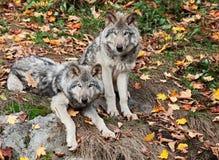 kameragray som ser två wolves Royaltyfri Foto