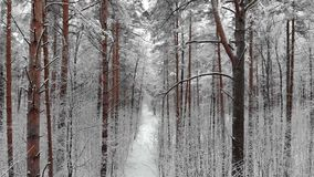 Kameran flyttar sig bland snö-täckte träd under snöfall i skog på vinterdagen flyg- sikt stock video