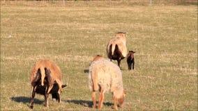 Kamerun-Schaffamilie, die auf Wiese geht stock video
