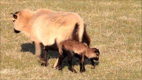 Kamerun-Schaffamilie mit Lämmern stock footage