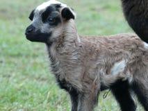 Kamerun sheep lamb newborn royalty free stock image