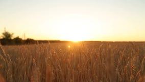 Kamery chodzenie przez złotych dojrzałych ucho pszeniczny pole przeciw słońcu na zmierzchu w zwolnionym tempie i niebu Bogaty żni zbiory wideo