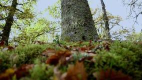 Kamery plandeki puszek pojedynczy bardzo wysoki drzewo, zaczyna w górę głębokiego niebieskiego nieba przeciw aż korzenie zbiory wideo