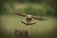 kamery pospolita latająca kestrel samiec w kierunku Obrazy Royalty Free