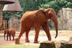 kamery słonia przyglądający prosty zoo Fotografia Royalty Free