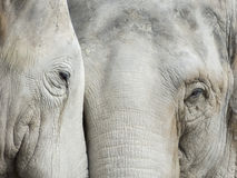 kamery słonia przyglądający prosty zoo Obrazy Stock