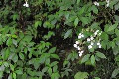 Kamferblomma-Cinnamomum camphora Royaltyfria Foton