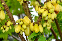 Kamias/Cucumber tree/Bilimbi Stock Photo