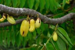 Kamias/Cucumber tree/Bilimbi Stock Image