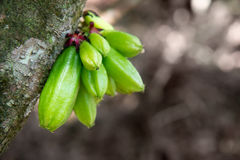 Kamias Fruit Clinging to a Tree in Southeast Asia Stock Images