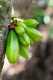 Kamias Fruit Clinging to a Tree in Southeast Asia Royalty Free Stock Images