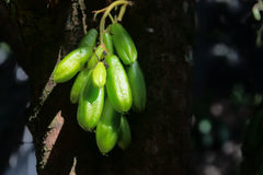 Kamias Fruit Clinging to a Tree in Southeast Asia Royalty Free Stock Photo