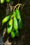 Kamias Fruit Clinging to a Tree in Southeast Asia. Very sour, bright green Kamias fruit, popular in Southeast Asia, clinging to the trunk of a tropical cucumber royalty free stock photo