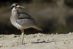 Kamienia Curlew zagrażający Australijski ptak (Esacus magnirostris) Obrazy Stock